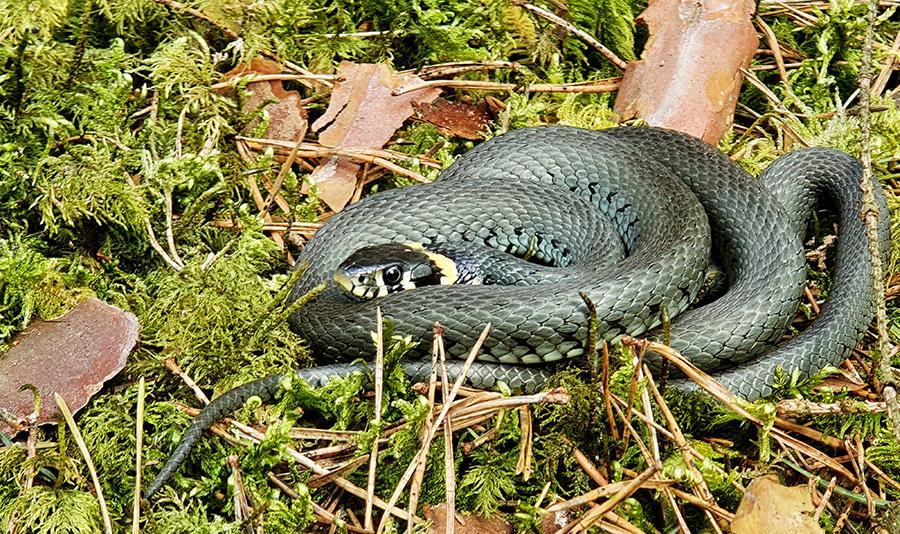 Gyvatė - Geltonskruostis žaltys